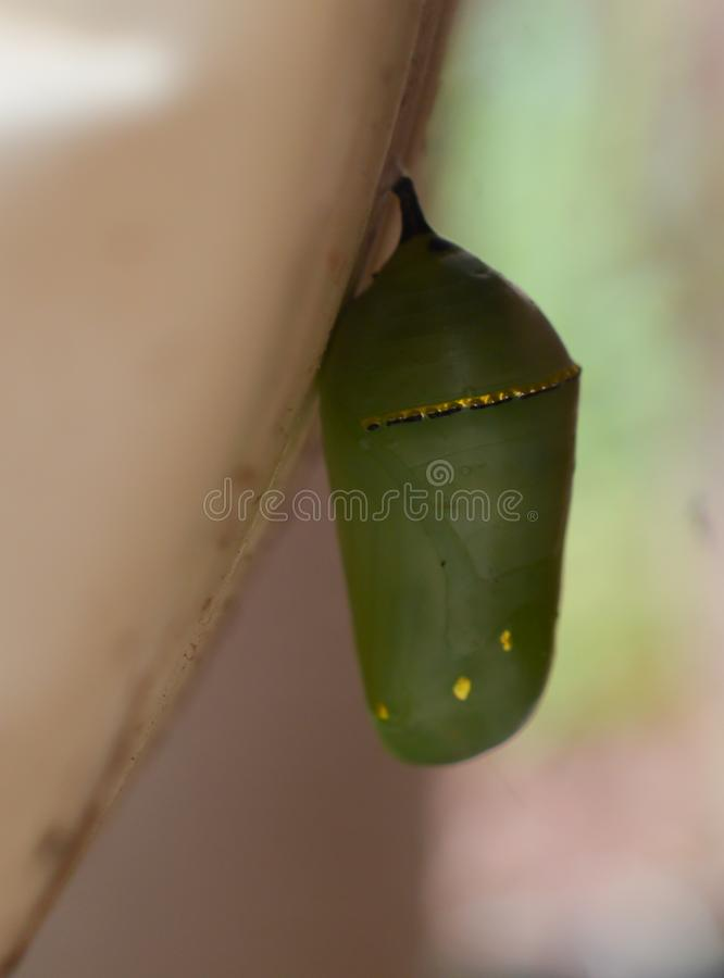 Macro photo of a monarch caterpillar cocoon/ chrysalis royalty free stock images