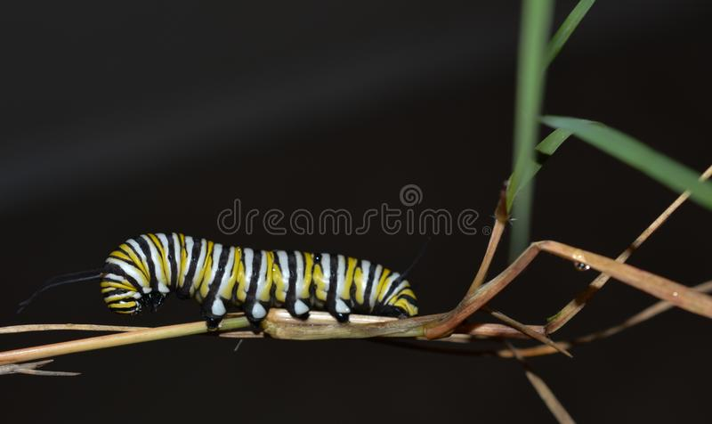 Macro photo of a monarch caterpillars outside on a brown stem of a plant. Close up of monarch caterpillar outside on a plant stem with a black background. Simple stock photo