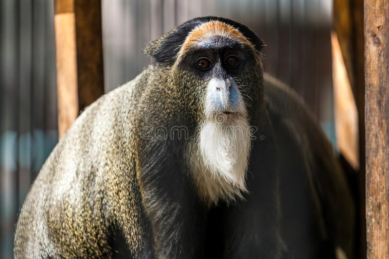 A close-up of a Monkey cerсopithecus neglectus. Is sitting on a tree on a warm summer day royalty free stock photography
