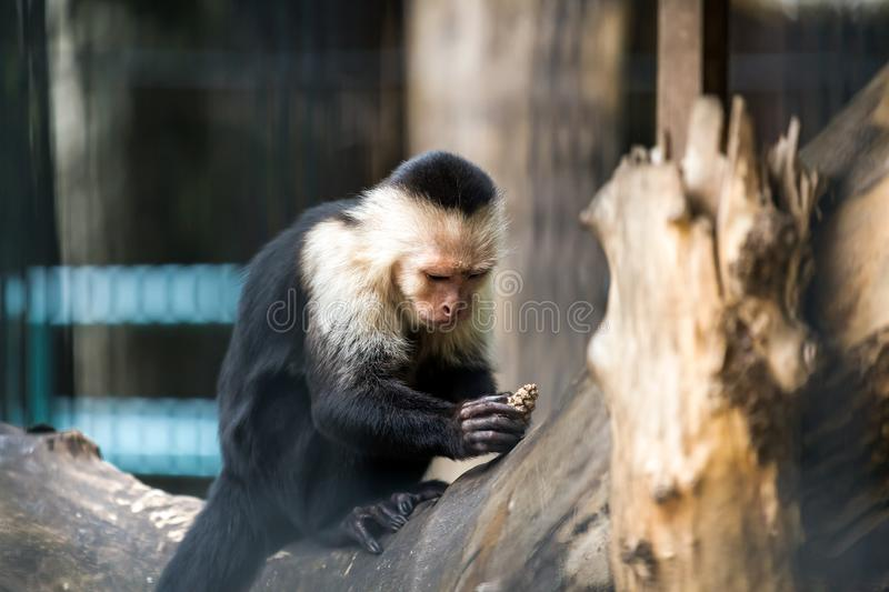 A close-up of a monkey royalty free stock photo