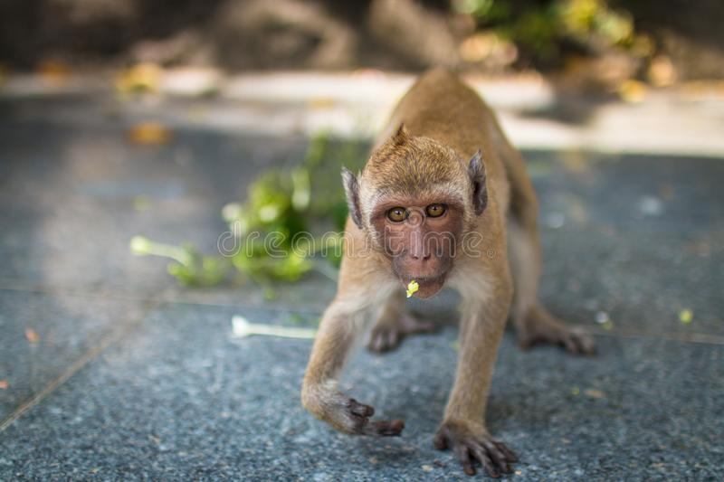 Close up Monkey face fierce. monkey walking and looking. royalty free stock images