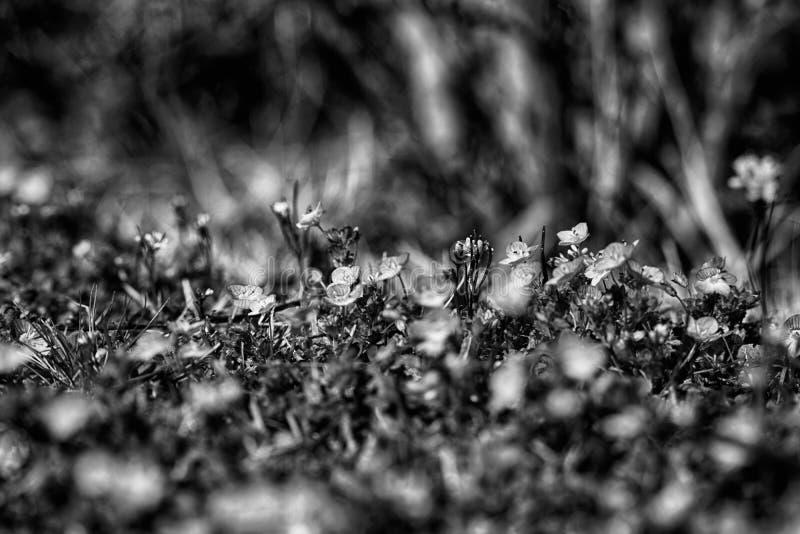 Close-up monocromático da grama no gramado verde, fundo blured, textura fresca fotografia de stock