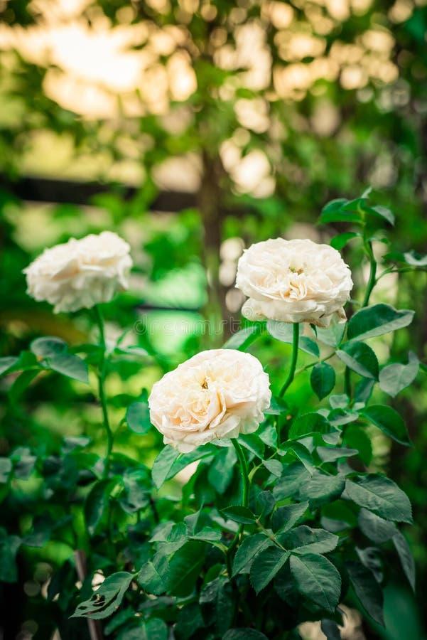 Close-up Mooie nam wit bloem die met groen blad bloeien toe stock fotografie