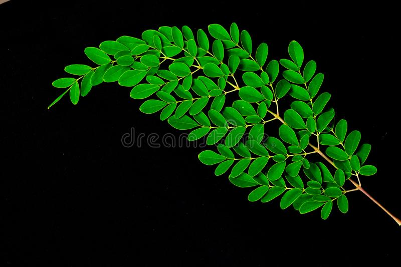 Close up of Moringa leaves isolated on black background. Moringa Oleifera tea leaves on branches with negative space for text and royalty free stock photos