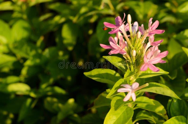 Close up morning light ray on purple flower with ladybug on green background stock photo
