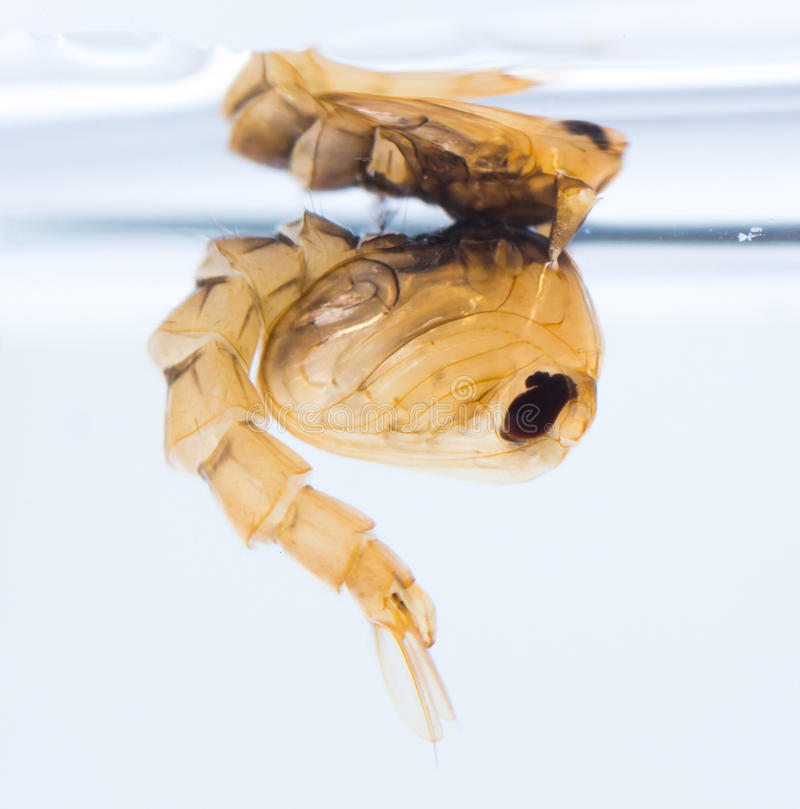 Mosquito pupa royalty free stock photography