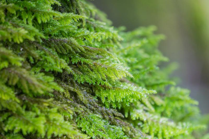 Close up of moss covering a tree trunk, California royalty free stock images