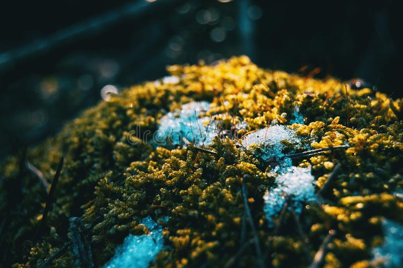 Close-up of moss with snow in winter royalty free stock photos