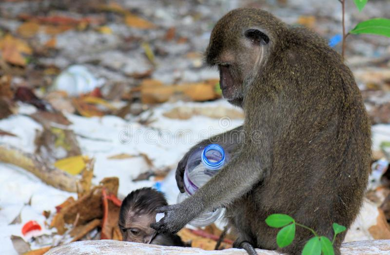 Close up of mother and baby Monkeys crab-eating long-tailed Macaque, Macaca fascicularis on polluted beach playing with plastic stock image