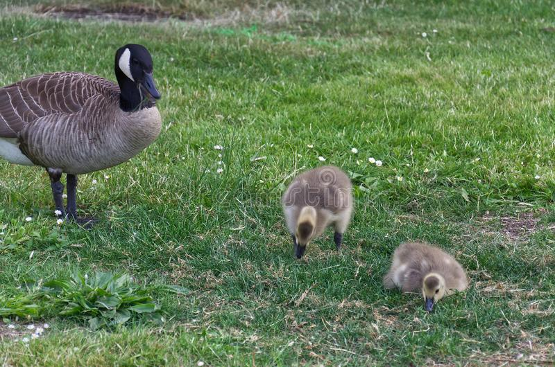 Mother goose with two goslings on green grass in the park. Close up of mother goose with two goslings on green grass in the park stock images