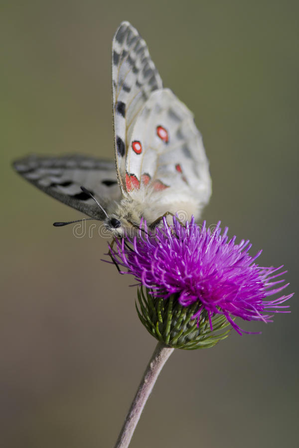 Close up of a Mountain Apollo (parnassius apollo) stock images