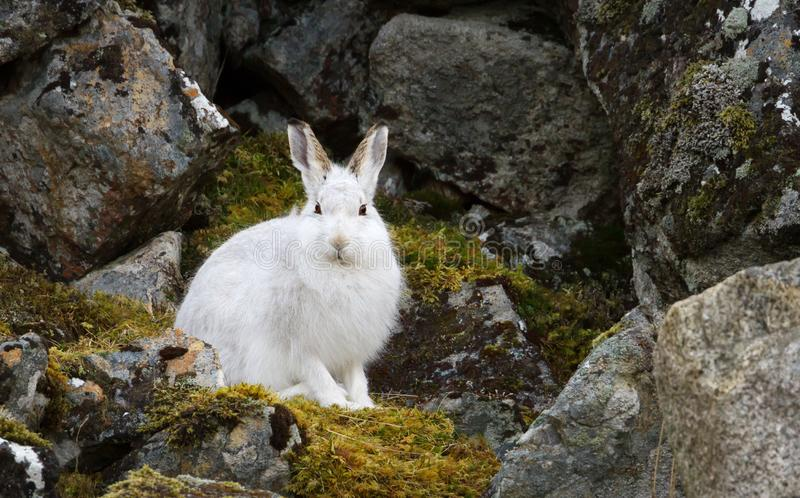 Close up of a Mountain hare in the highlands royalty free stock images