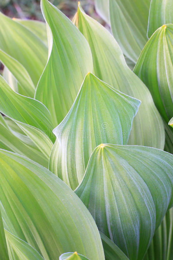 Close up of Mountain Mule's Ear stock photos