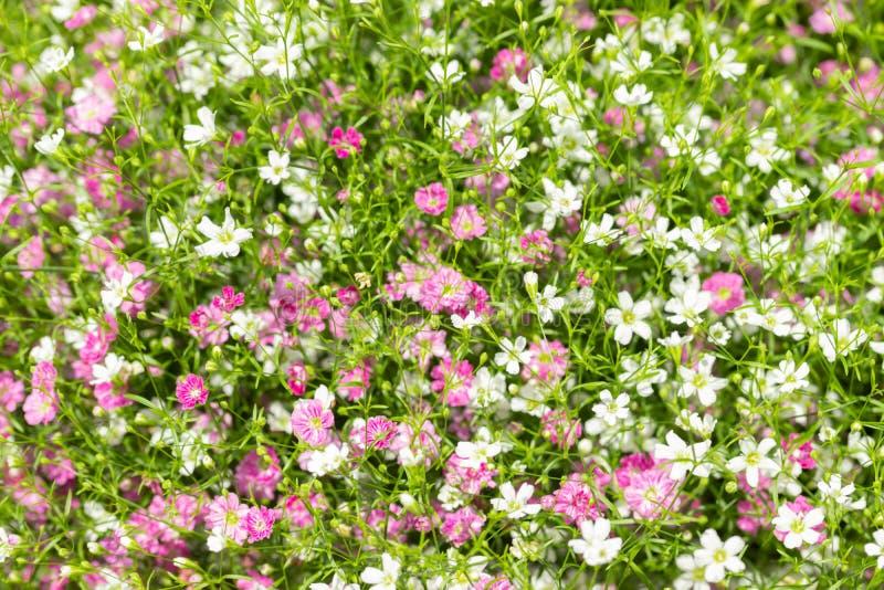 Close up muito fundo pequeno do rosa do gypsophila e as brancas das flores fotos de stock
