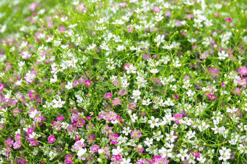 Close up muito fundo pequeno do rosa do gypsophila e as brancas das flores imagens de stock royalty free