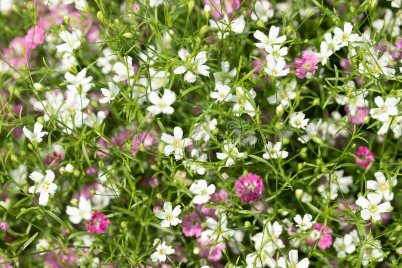 Close up muito fundo pequeno do rosa do gypsophila e as brancas das flores fotos de stock royalty free