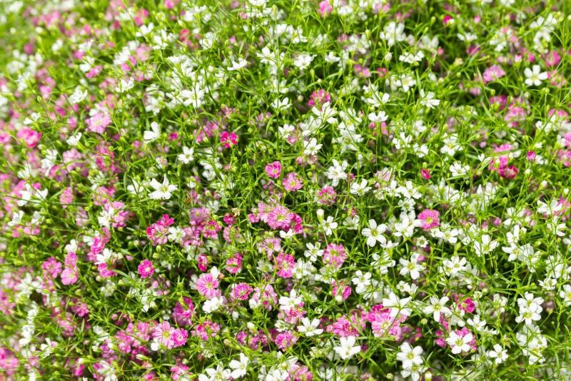 Close up muito fundo pequeno do rosa do gypsophila e as brancas das flores imagens de stock