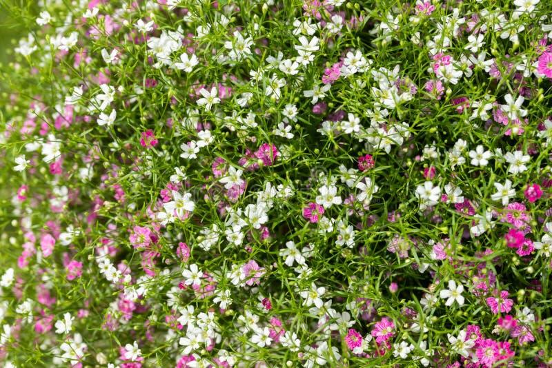 Close up muito fundo pequeno do rosa do gypsophila e as brancas das flores imagem de stock