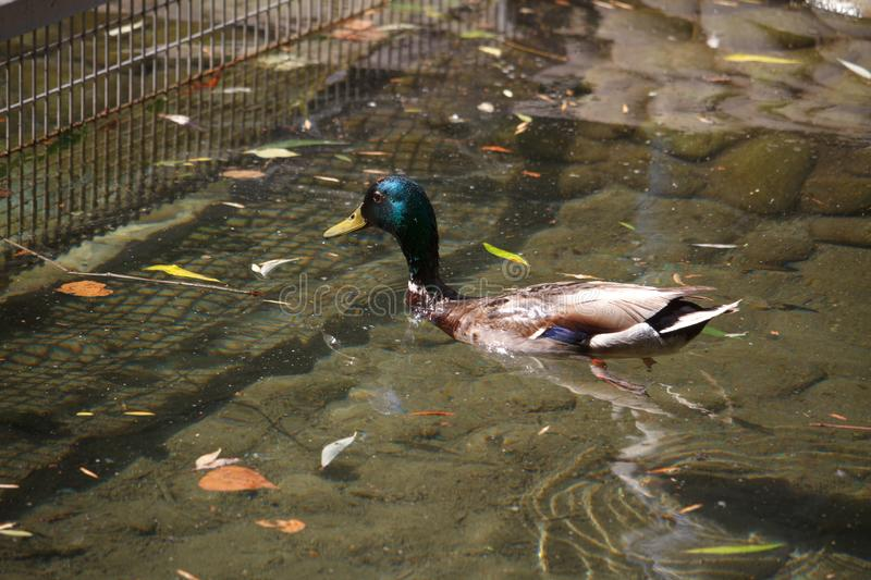 Close-up of a multi-colored male duck, a drake swims and dives in the creek among the fallen leaves, selective focus royalty free stock photography