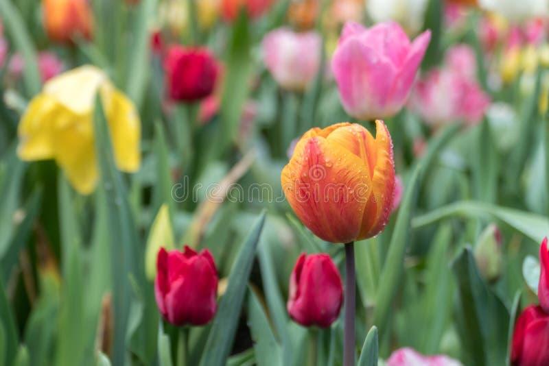 Colourful Tulip Garden Close-up in Rain stock photography
