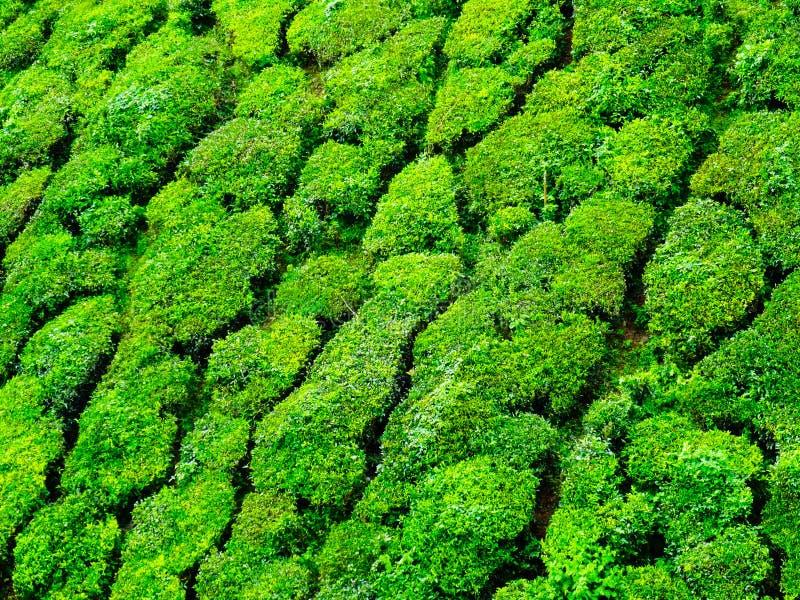 Close up of Munnar tea hills royalty free stock photography