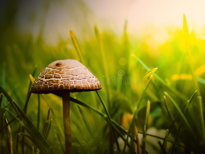 Close-up mushroom in the forest. Mushrooms in grass on a sunny day stock photography