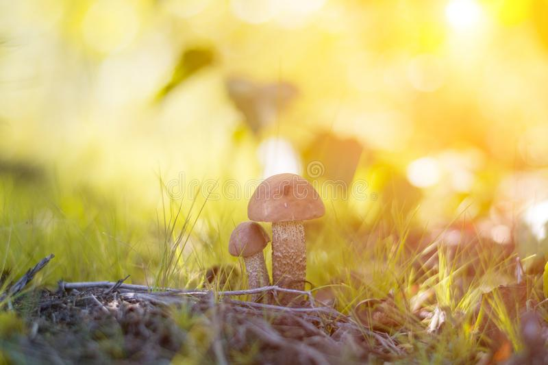 Close-up mushroom Leccinum scabrum grows in the forest. Little mushrooms, soft bokeh, green grass, leafs. Sunny summer day after r. Ain royalty free stock photo