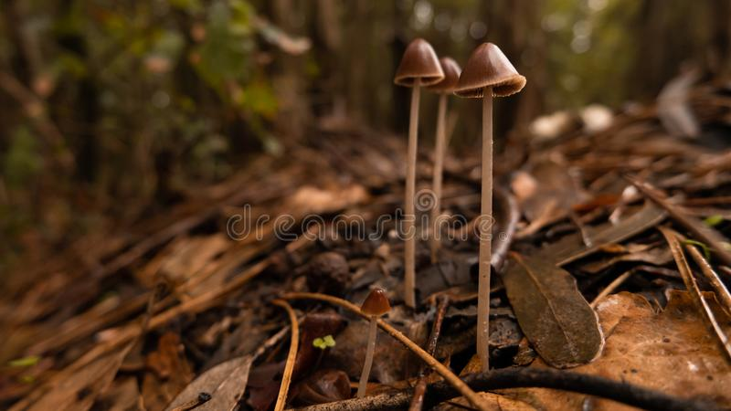 Close up mushrooms growing in the woods in autumn, surrounded by fallen brown leaves. Beautiful autumnal scene with shallow depth of field royalty free stock image