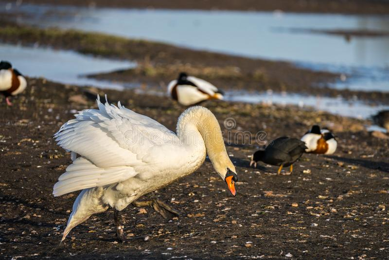 Close up of a Mute Swan Cygnus olor in threat pose striding across an island at speed stock photography