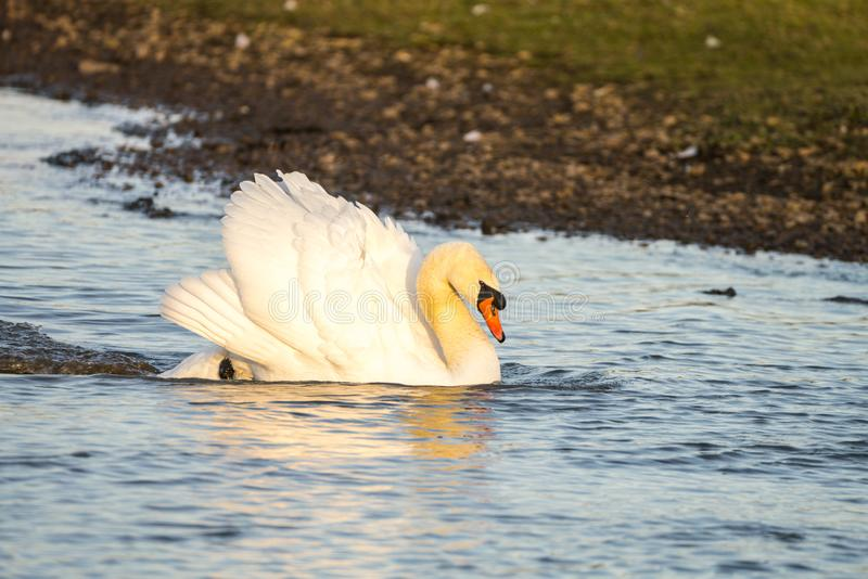 Close up of a Mute Swan Cygnus olor in threat pose swimming across lake at speed royalty free stock images