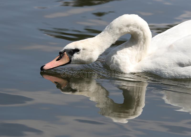 Close up of a Mute Swan royalty free stock photos