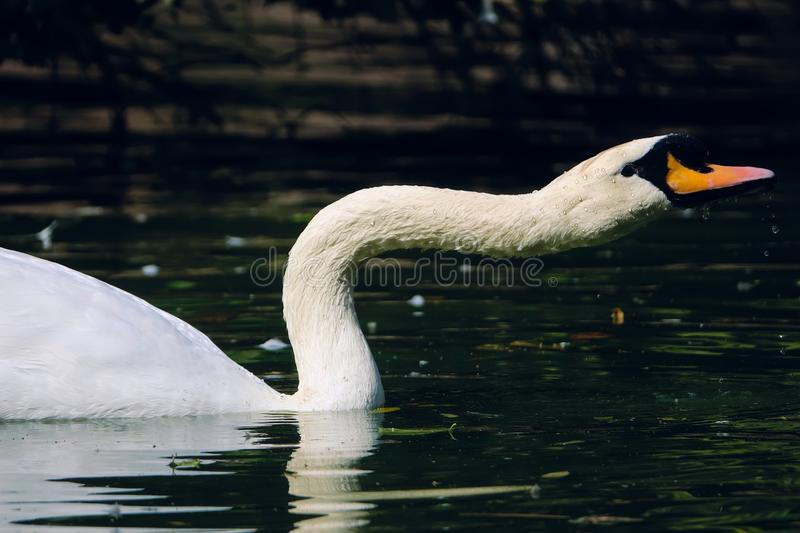 Mute Swan. The close-up of Mute Swan. Scientific name: Cygnus olor stock image