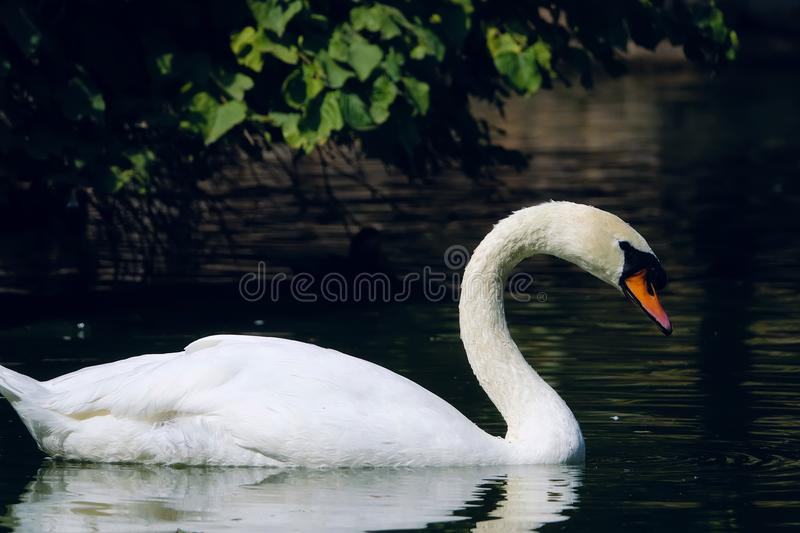 Mute Swan. The close-up of Mute Swan. Scientific name: Cygnus olor royalty free stock image