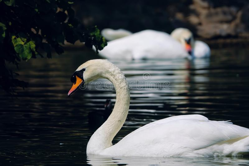 Mute Swan. The close-up of Mute Swan is swimming. Scientific name: Cygnus olor stock photo