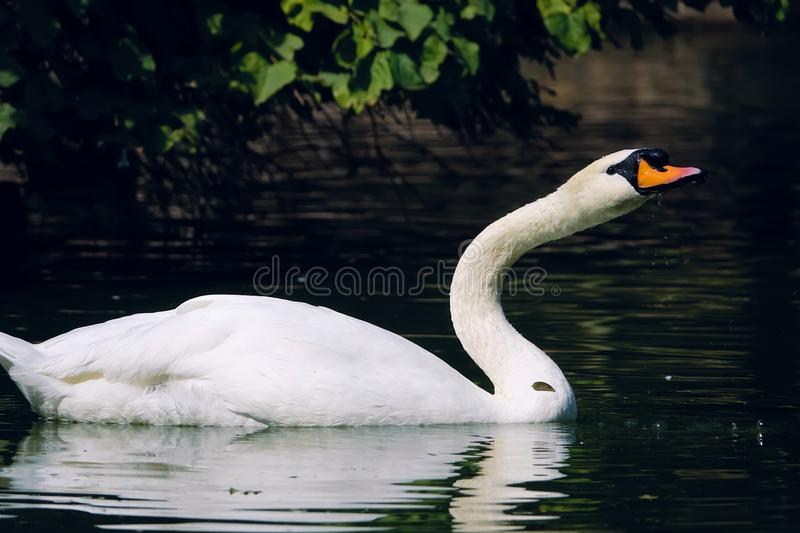 Mute Swan. The close-up of Mute Swan is swimming. Scientific name: Cygnus olor stock images
