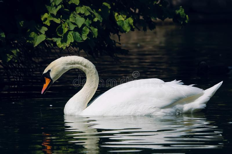 Mute Swan. The close-up of Mute Swan is swimming in water. Scientific name: Cygnus olor stock photos