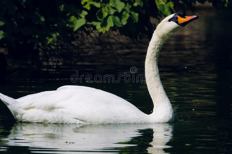 Mute Swan. The close-up of Mute Swan is swimming in water. Scientific name: Cygnus olor stock photography