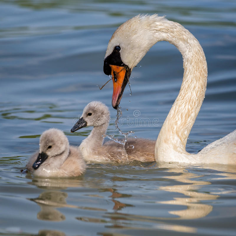 Close up of mute swans family Cygnus olor royalty free stock photography