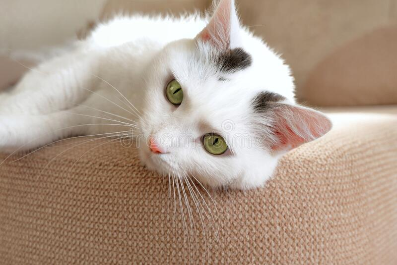 Close-up of the muzzle of a white domestic cat lying on the sofa. Soft fluffy charming shorthair cat with green eyes. Copy space for text royalty free stock photos