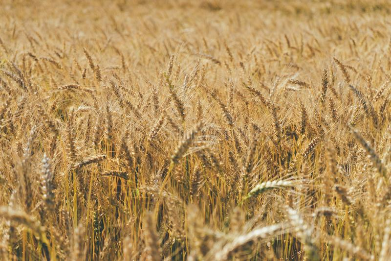 Close up nas orelhas maduras douradas orgânicas da cultura do cereal no campo foto de stock royalty free
