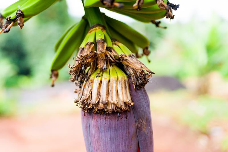 Close up of natural cute small green bananas fruits on tree in africa stock photo