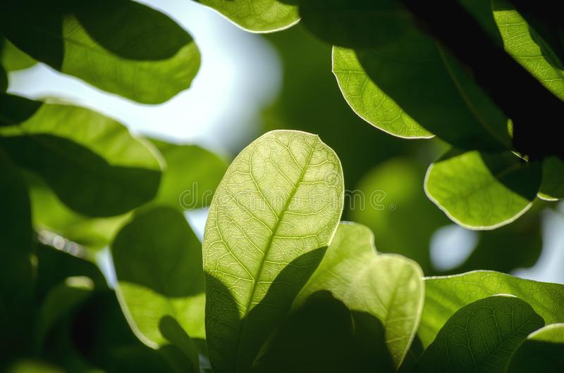 Close Up nature view of green leaf on blurred and sunlight greenery background in garden natural plants fresh stock image