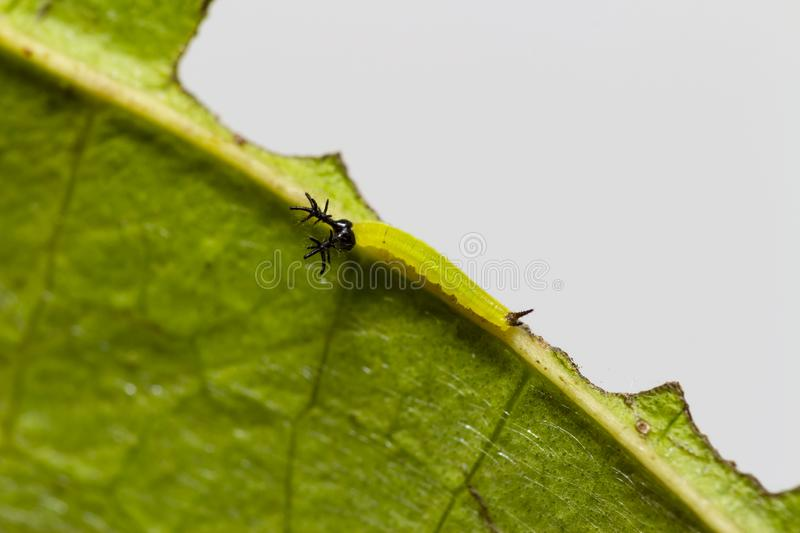Close up 2nd stage of caterpillar of siamese black prince butterfly  Rohana parisatis royalty free stock image