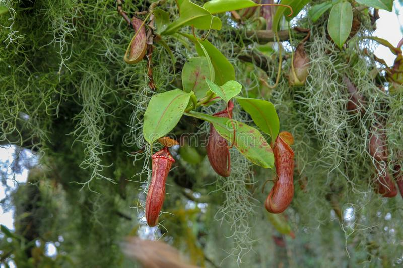 Close up the  Nepenthes plant in asia garden at singapore. Hanging, sale, bowl, petal, blossom, green, leaf, gardens, cup, pocket, growth, basin, trunk stock photo