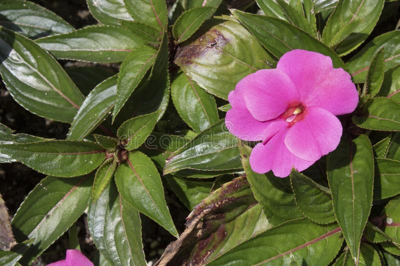 Close-up of New Guinea Impatiens purple plant royalty free stock photo