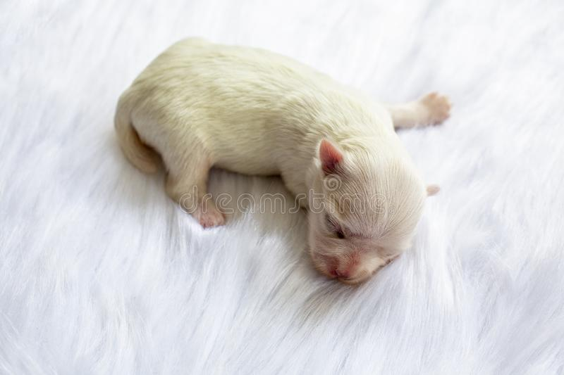Close-up of a Newborn maltese puppy. maltese dog. Beautiful dog color white. 4 day old. Puppy on Furry white carpets. baby dog on stock photos
