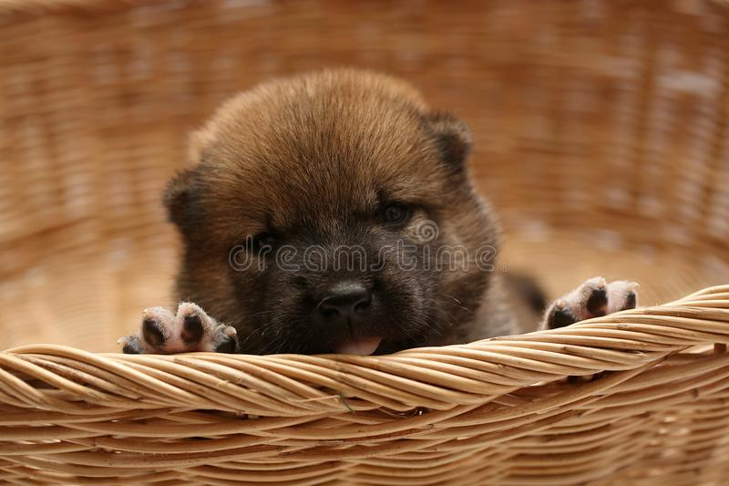 Close-up of a Newborn Shiba Inu puppy. Japanese Shiba Inu dog. Beautiful shiba inu puppy color brown. 16 day old. Puppy in basket. Dog and basket royalty free stock photos