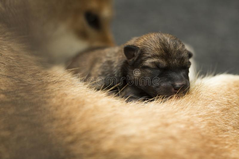 Close-up of a Newborn Shiba Inu puppy. Japanese Shiba Inu dog. Beautiful shiba inu puppy color brown and mom. 1 day old. Japan stock photos
