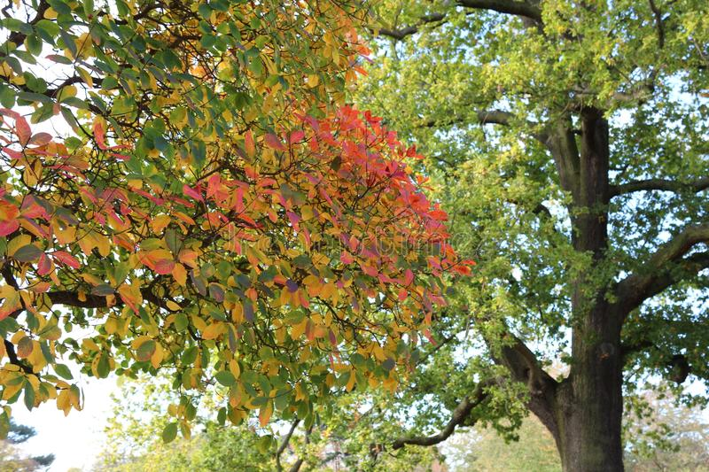 Close up of nice autumn colorful leaves, majestic oak tree stock photo