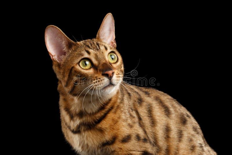 Close-up Nieuwsgierig Gezicht Bengalen Cat Looking omhoog, Geïsoleerd Zwarte Achtergrond royalty-vrije stock foto's
